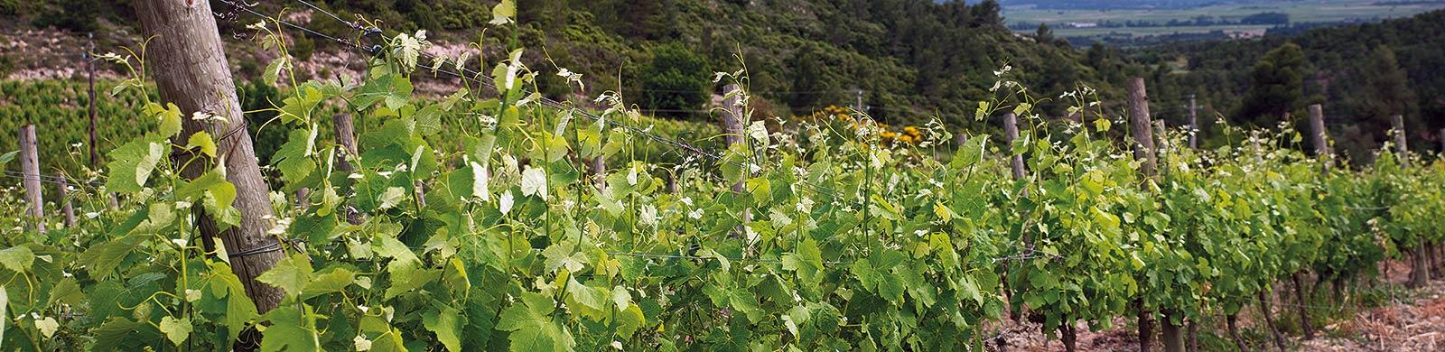 Domaine de cantaussel Minervois