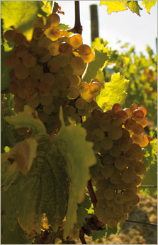 Vermentino white wine grapes