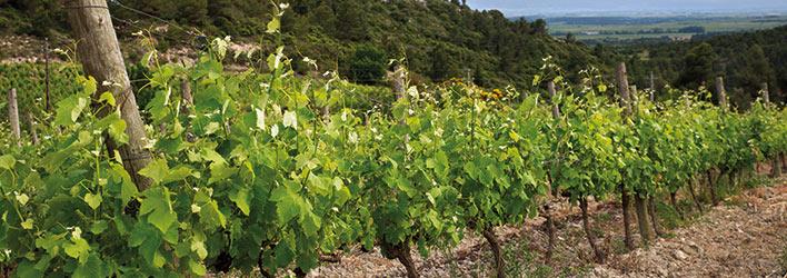 vignes-minervois-vin-cantaussel-s