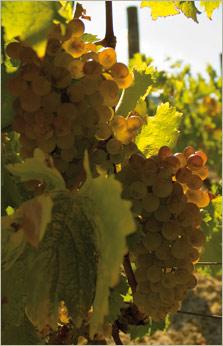 Vermentino white wine grapes
